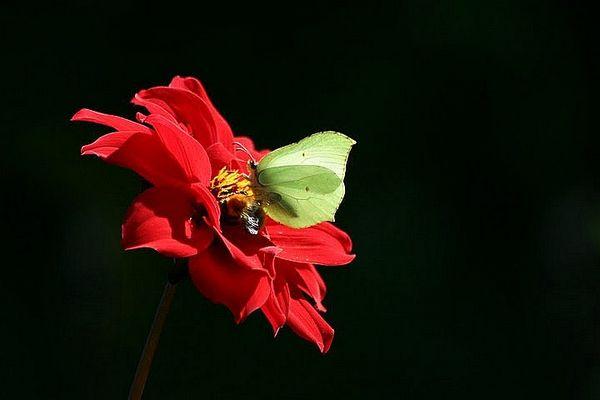 Papillon citron