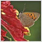 Papillon commun