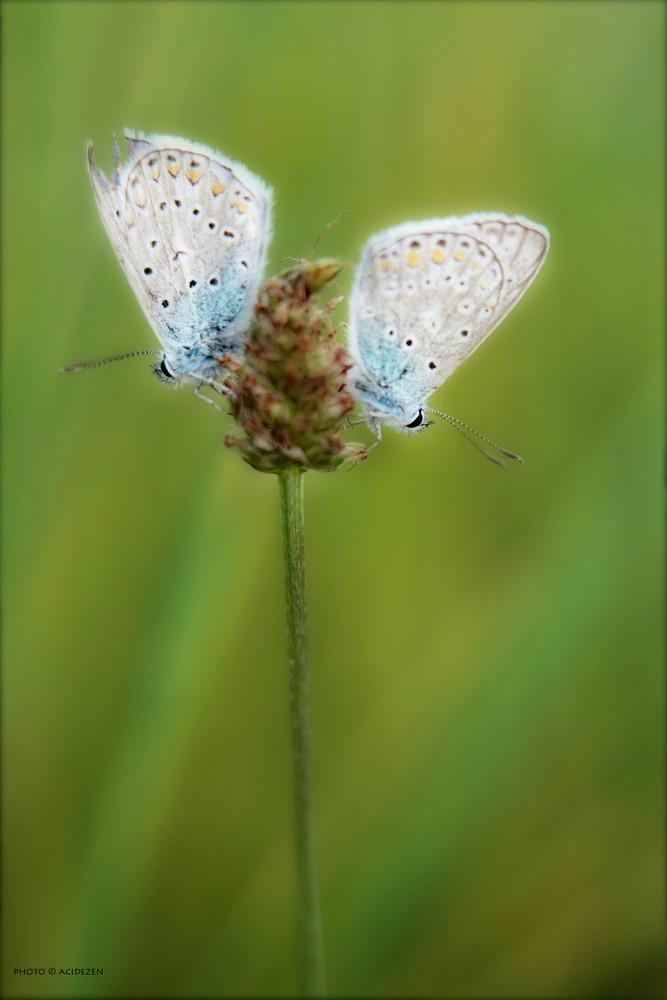 papillon couple