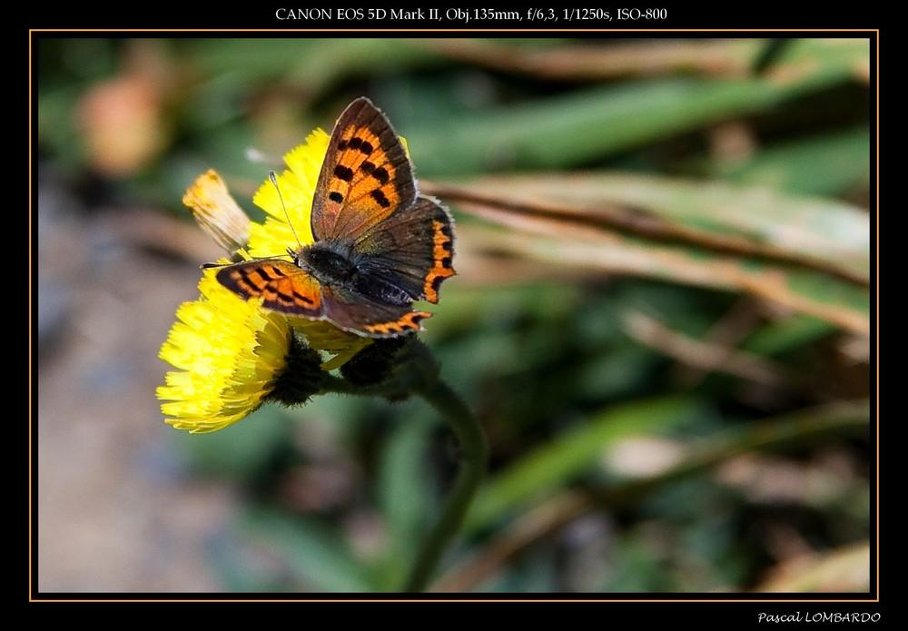Papillon Cuivré