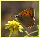 Papillon cuivré commun ou Bronzé