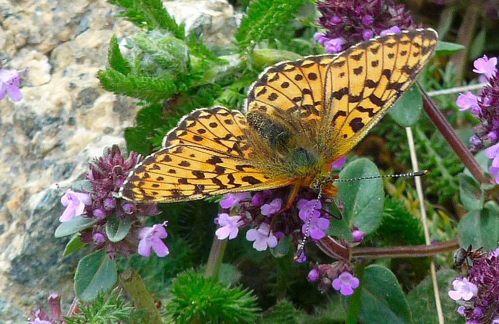 Papillon dans le thym