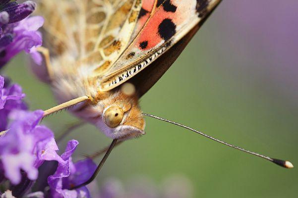 Papillon dans les lavandes
