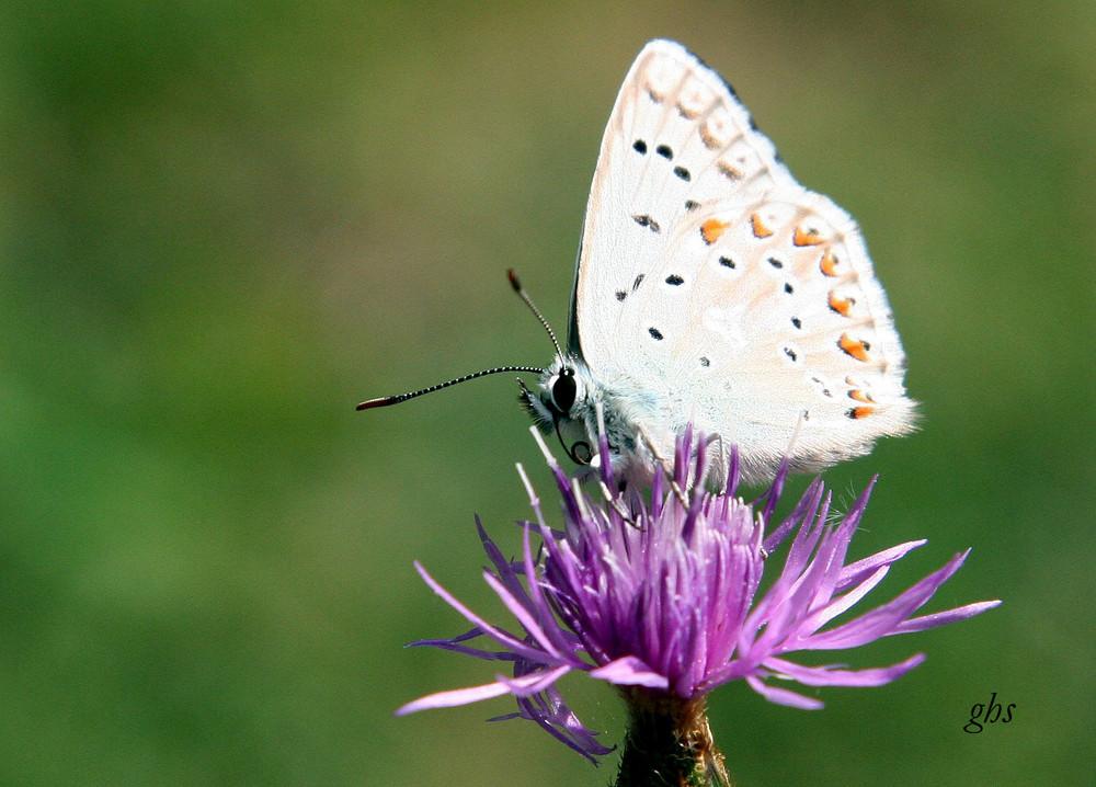 papillon de bapteme