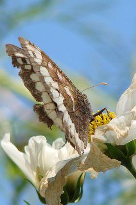 papillon de dos