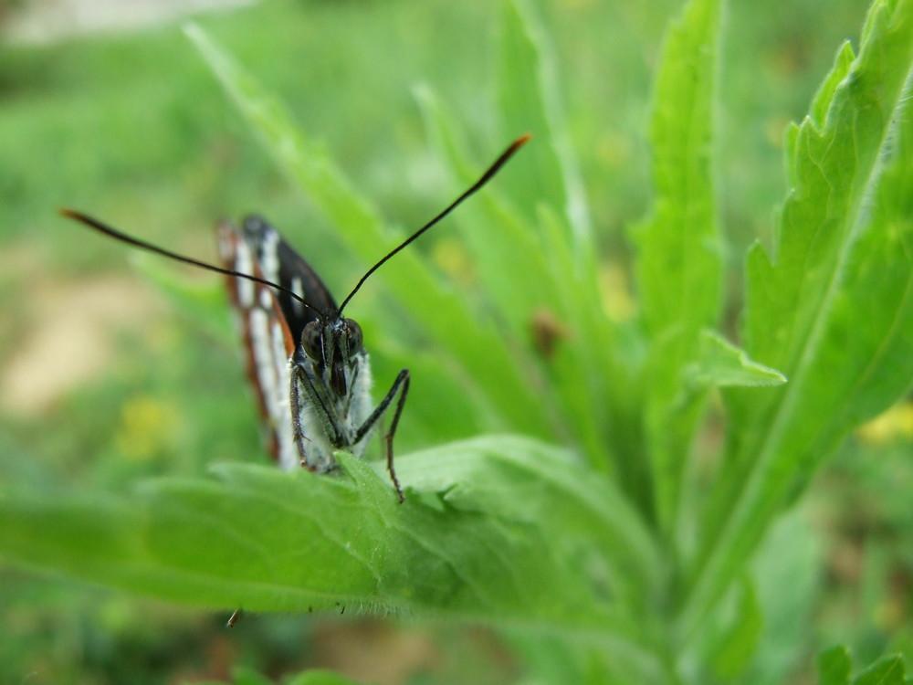 papillon de face
