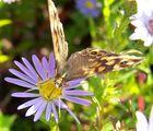 papillon de fin de saison