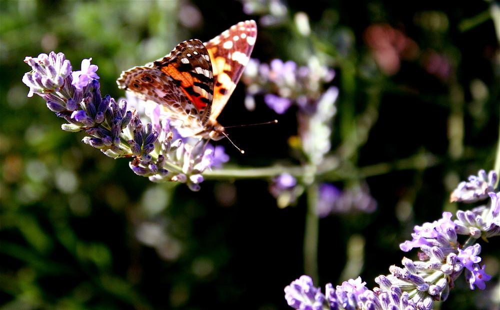 papillon de France