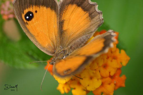 Papillon de jour (suite)