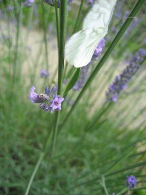 Papillon de lavande
