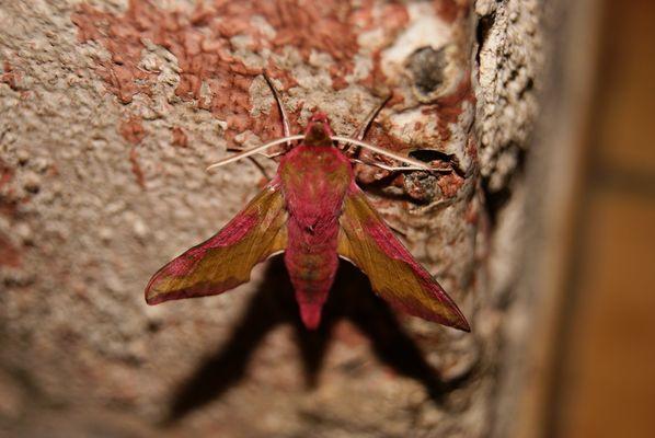 papillon de nuit ....................