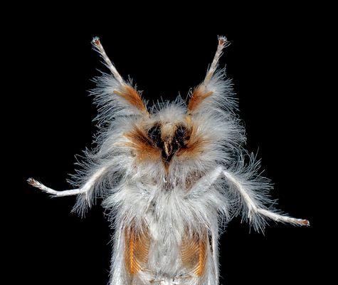 Papillon de nuit sur une vitre, un portrait! --- Euproctis similis: Der Schwan, ein Eulenfalter!