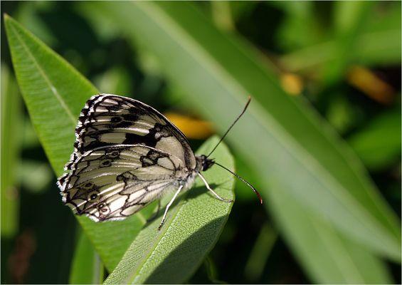Papillon demi-deuil - Melanargia galathea Schmetterling