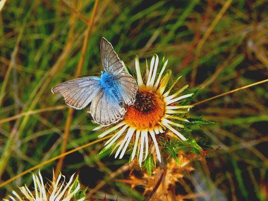 Papillon des Alpes