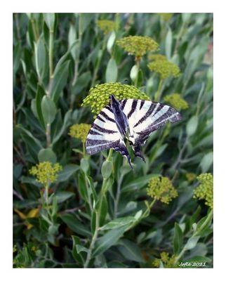 Papillon des Baux