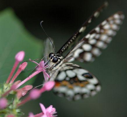 Papillon des Philippines