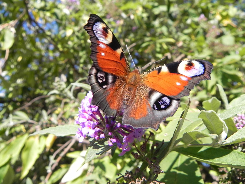 Papillon du jour.