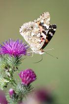 Papillon du jour