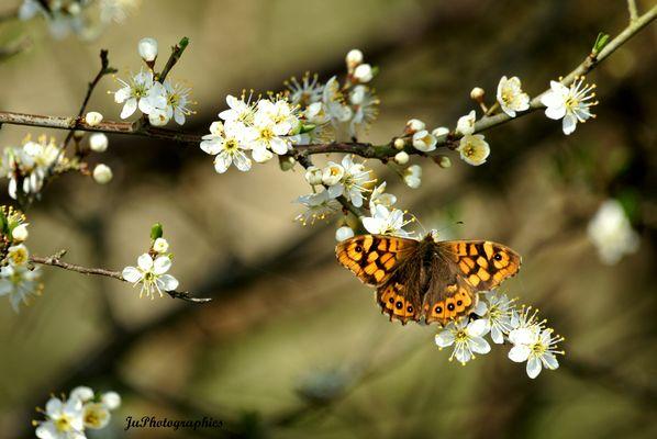 Papillon du printemps