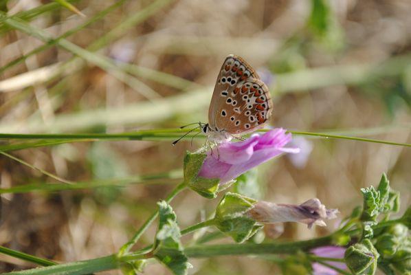 Papillon²