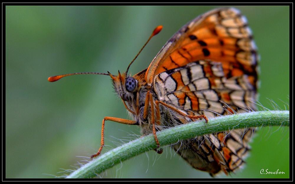 papillon en cevennes