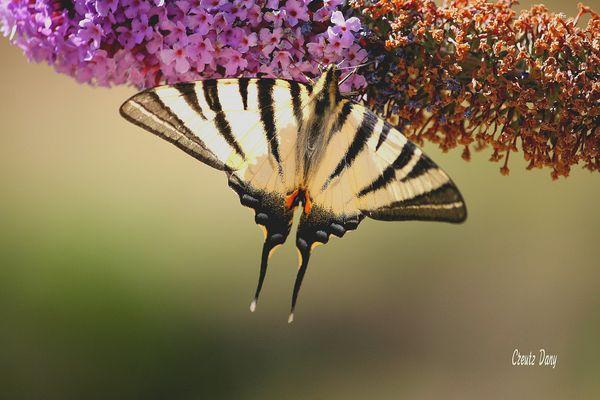 Papillon en Corse