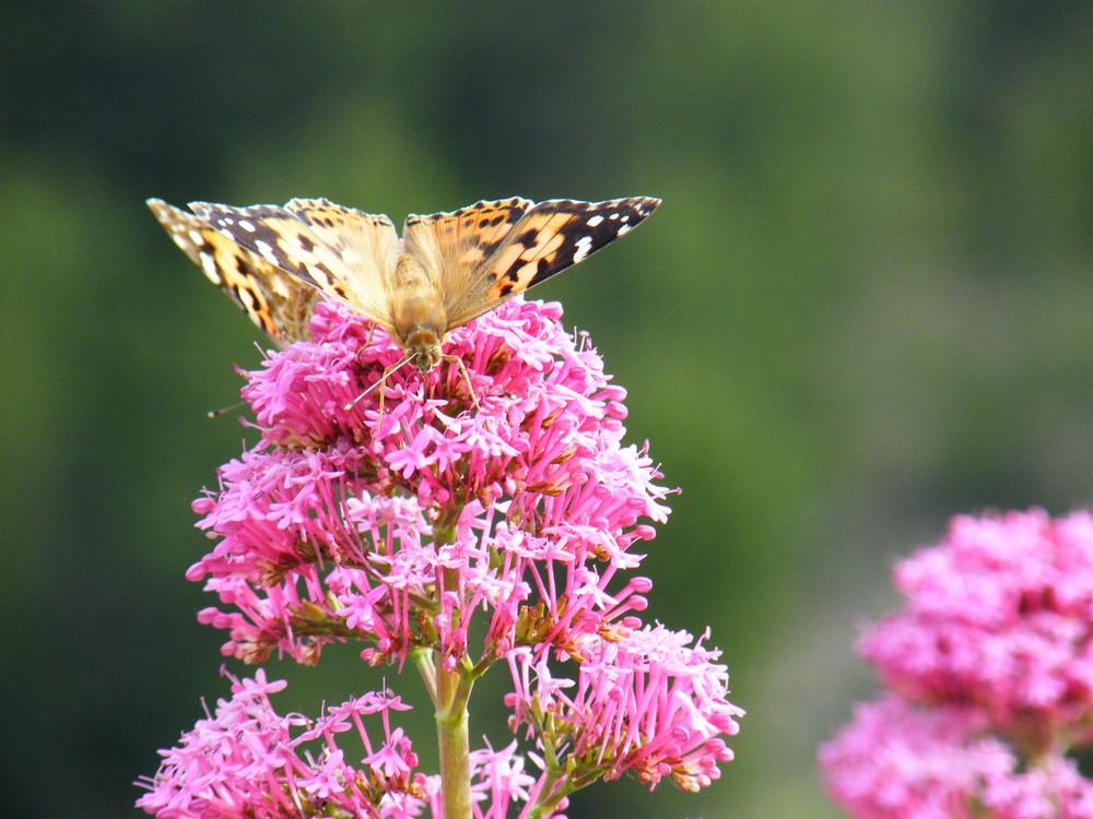 Papillon en plein repas