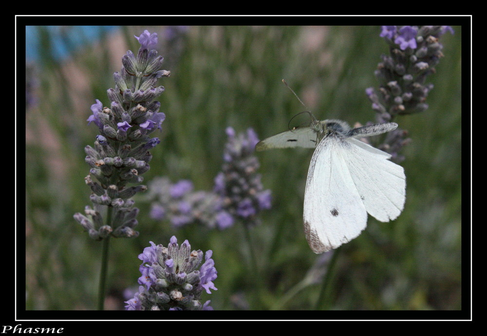 papillon en vole ...