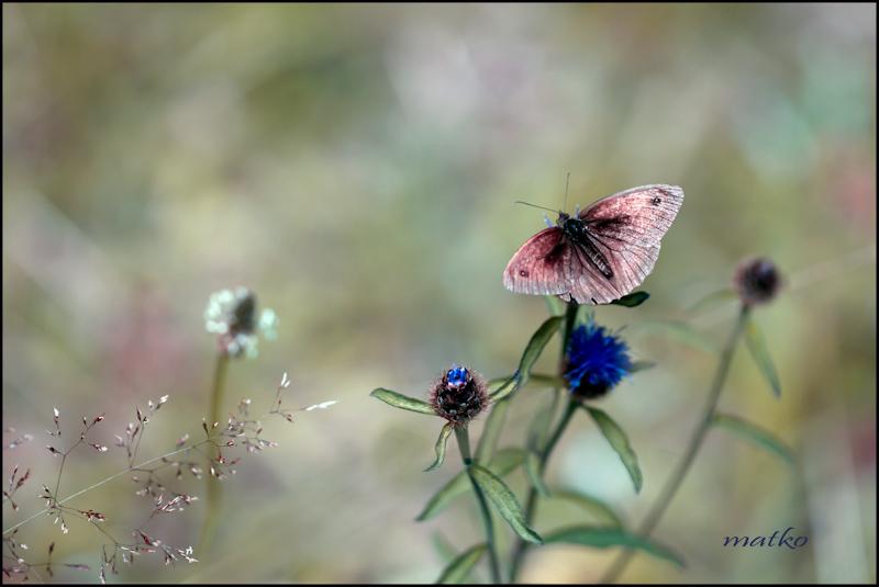Papillon endormi