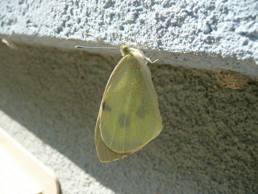 Papillon entrain de se secher