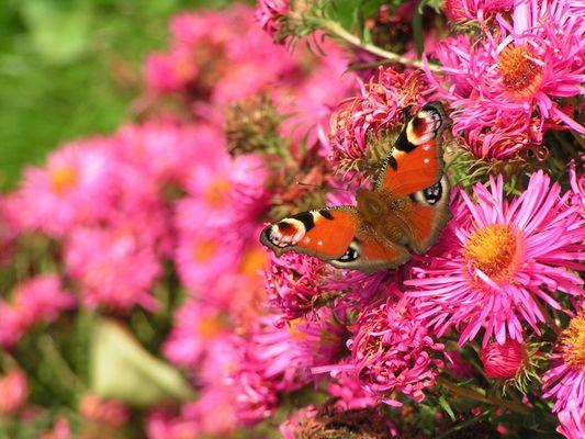 Papillon et aster