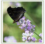 Papillon fermé!!