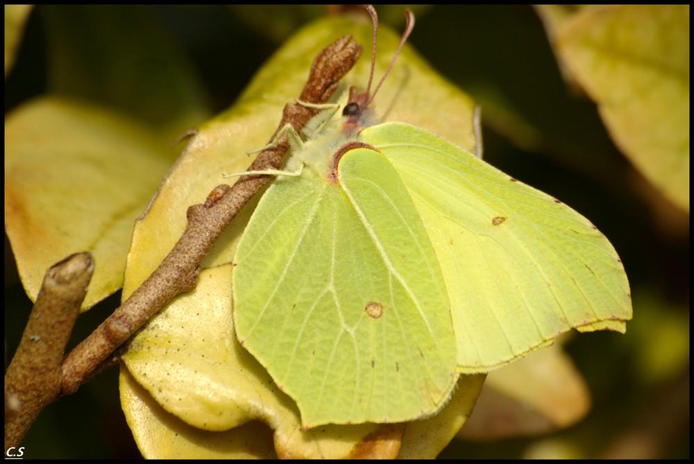 papillon  feuille  ou feuille papillon ?