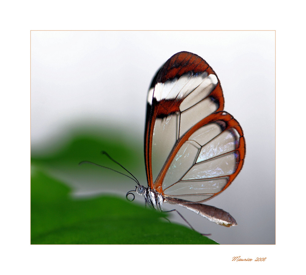 """ Papillon fragile """