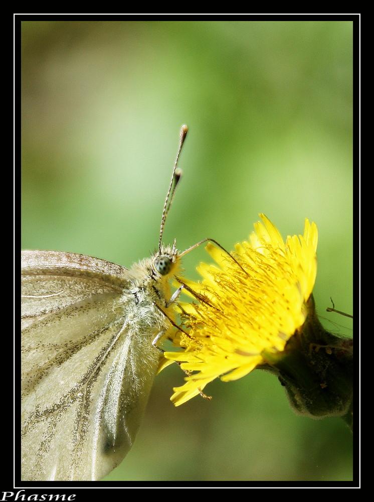 papillon III