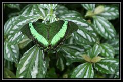 Papillon III - Mimikry im Falterreich