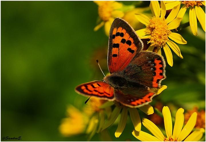Papillon (IIl) ....