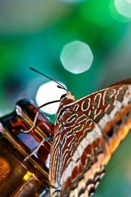 papillon jason