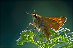Papillon La Sylvaine, femelle (Ochlodes venatus)
