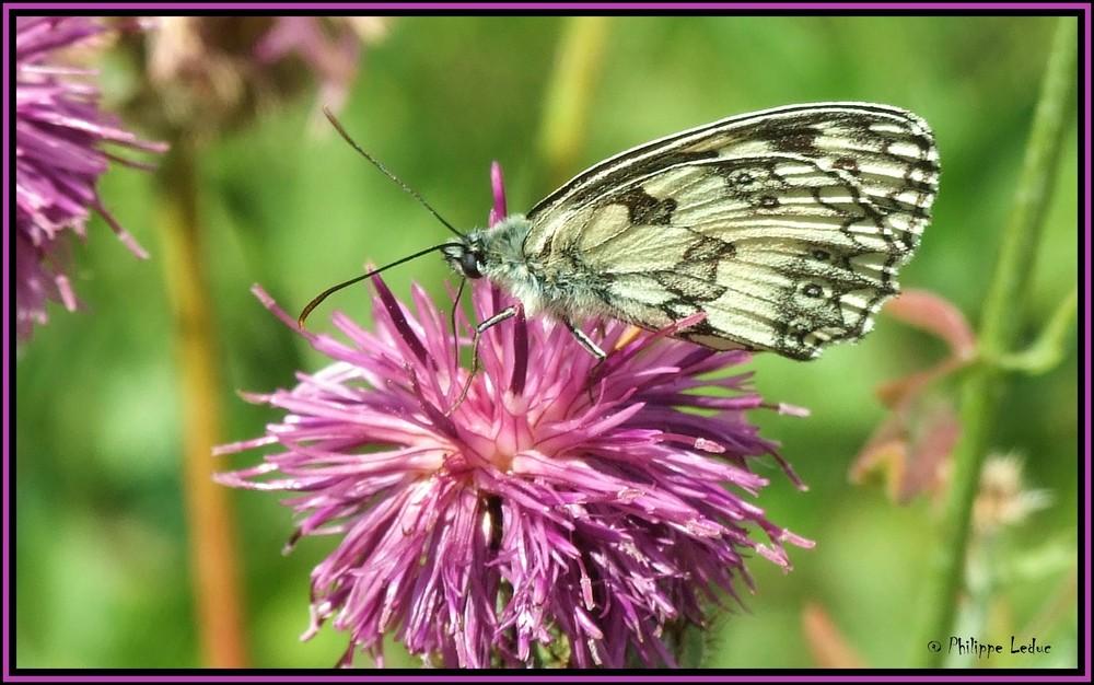 Papillon (Le demi-deuil)