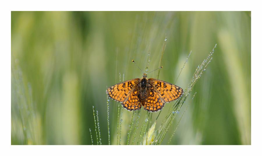 Papillon, le matin
