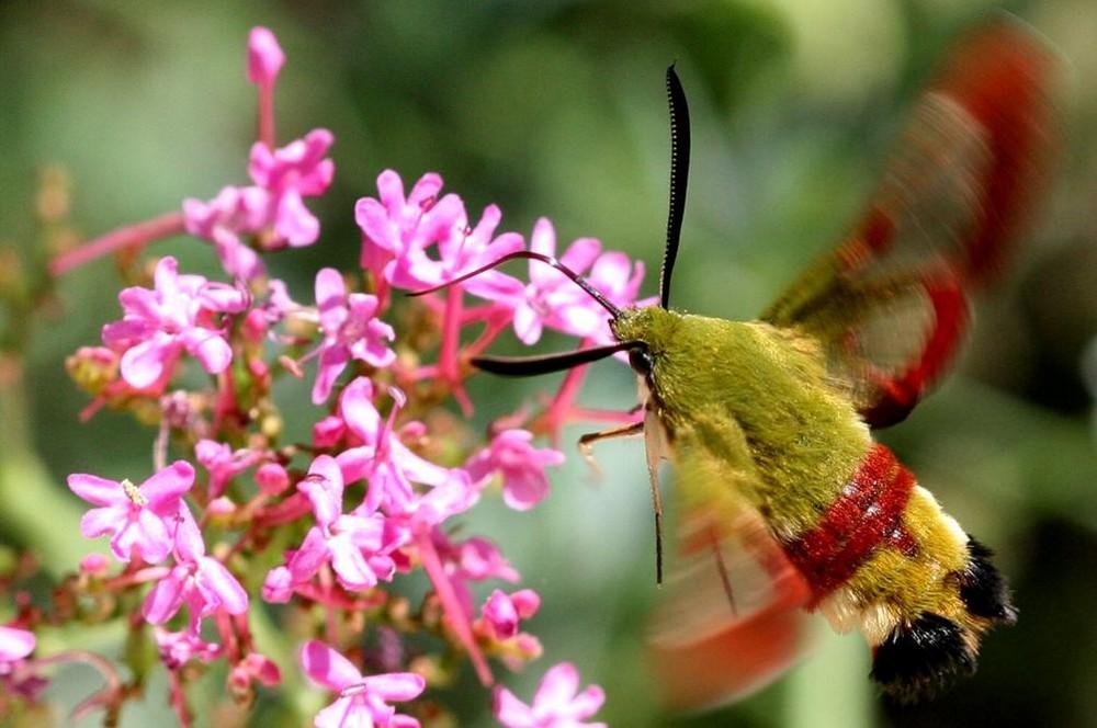 Papillon - Lepidoptere - Sphinx-Gaze - Hemaris-Fuciformis