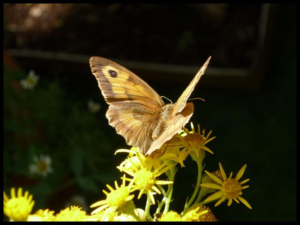 Papillon lumineux
