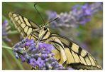 Papillon Machaon sur lavande