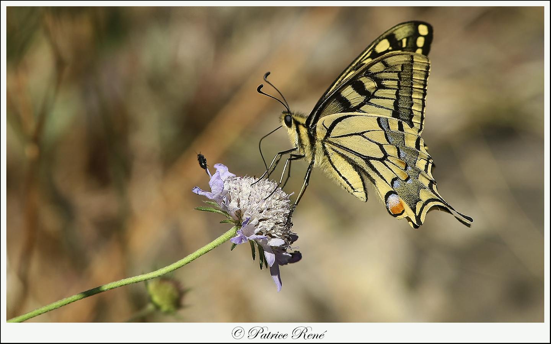 Papillon Machaon sur sa petite fleur.