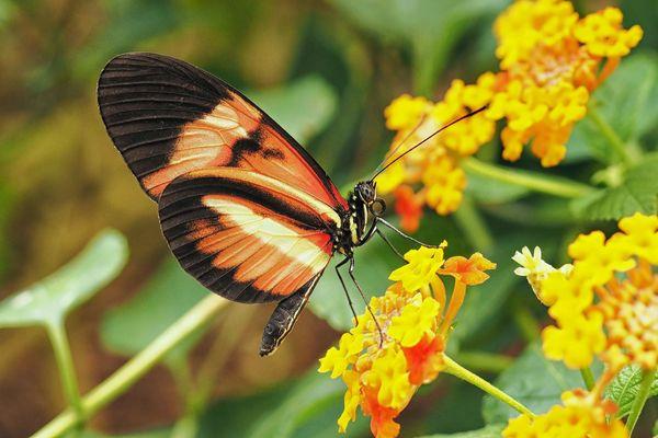 papillon macro nature