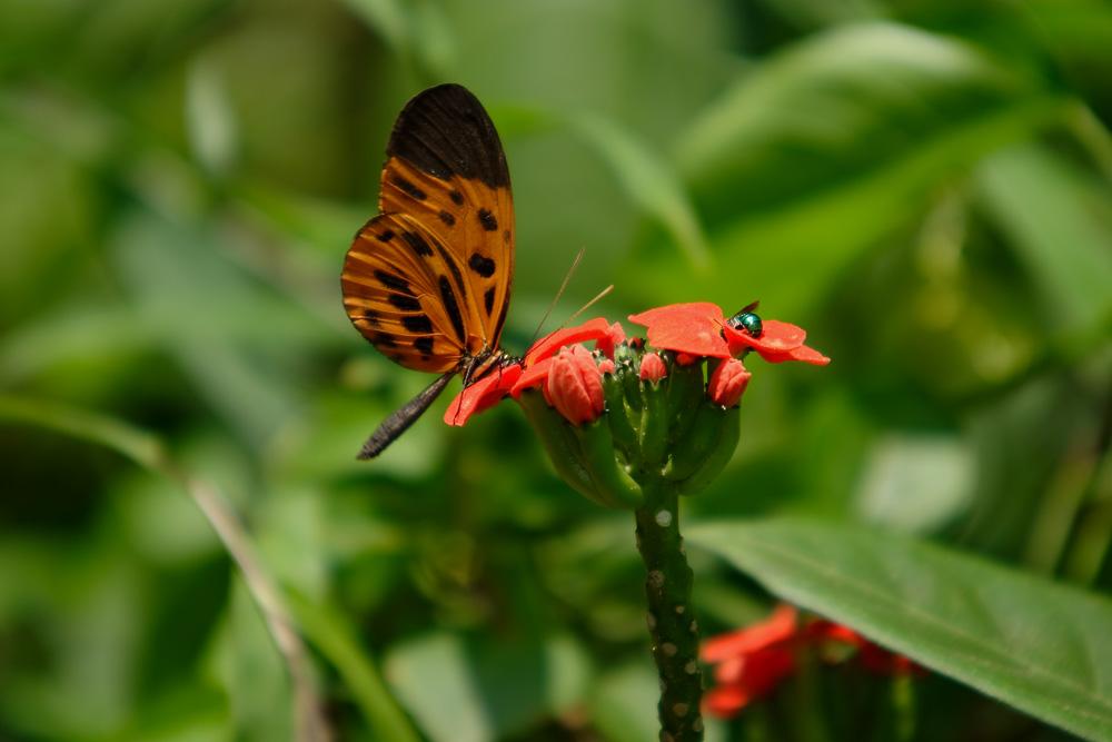Papillon, Madre de Dios, Pérou
