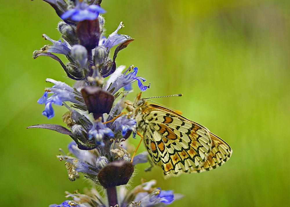 papillon mélité
