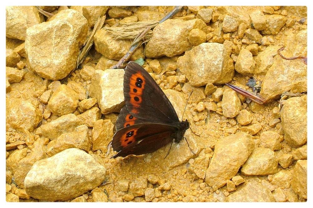 papillon moiré blanc fascié