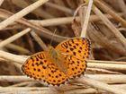 papillon Nacré des ronces